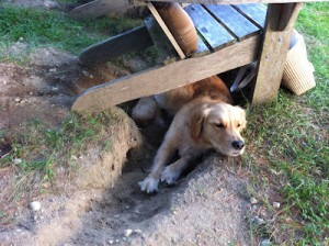 Barbara O'Connor's dog Ruby enjoying the hole she dug this summer